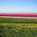 Campi di tulipani, Paesi Bassi. Autore: GerardM. Licensed under the Creative Commons Attribution-Share Alike