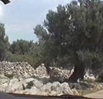 Gli stupendi olivi secolari che si trovano nella parte nord della penisola di Lun (Tovarnele), Pago (Pag). Autore e Copyright: Marco Ramerini