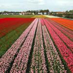 Campi di tulipani, Paesi Bassi. Autore: Alessandro Vecchi. Licensed under the Creative Commons Attribution-Share Alike